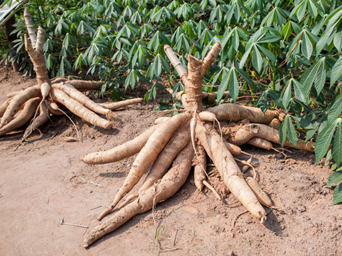 What are the by products of cassava processing?